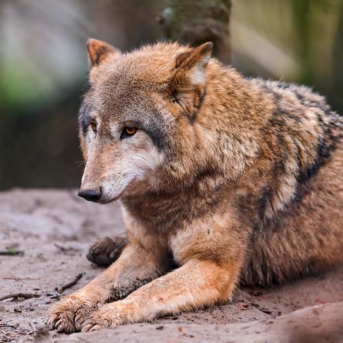 Lying nice wolf by Tambako the Jaguar