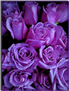 ROSAS LILÁS, A NATUREZA  CAPRICHA!  - PURPLE ROSES, THE NATURE CARE!