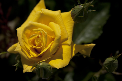 Yellow Rose in the Sun