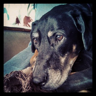 Rainy Sunday #dogstagram #ilovemydogs #dobermanmix #dobiemix #ilovebigmutts #adoptdontshop #rescued