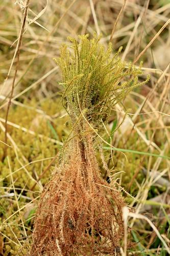 Springy Turf-moss 25833