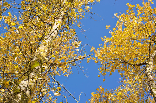 Blue Sky and Cottonwoods