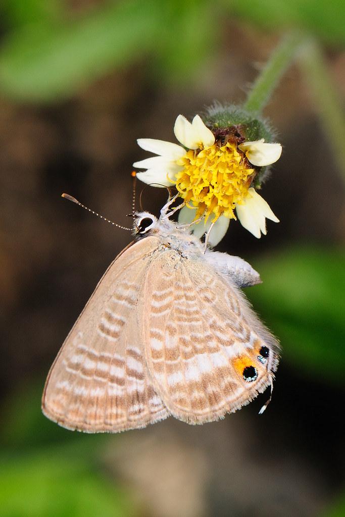 琉璃波紋小灰蝶 Jamides bochus formosanus
