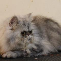 JUAL: kucing persia betina Surya Market Pets