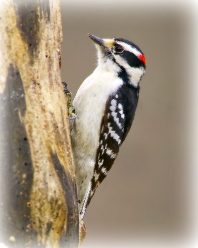 Grote Bonte Specht (Great Spotted Woodpecker) by Plaithy