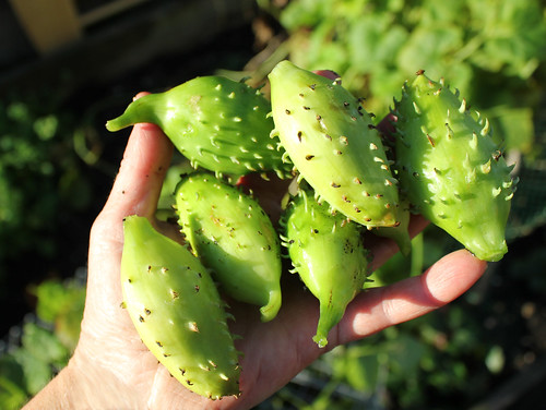 Achocha fruits