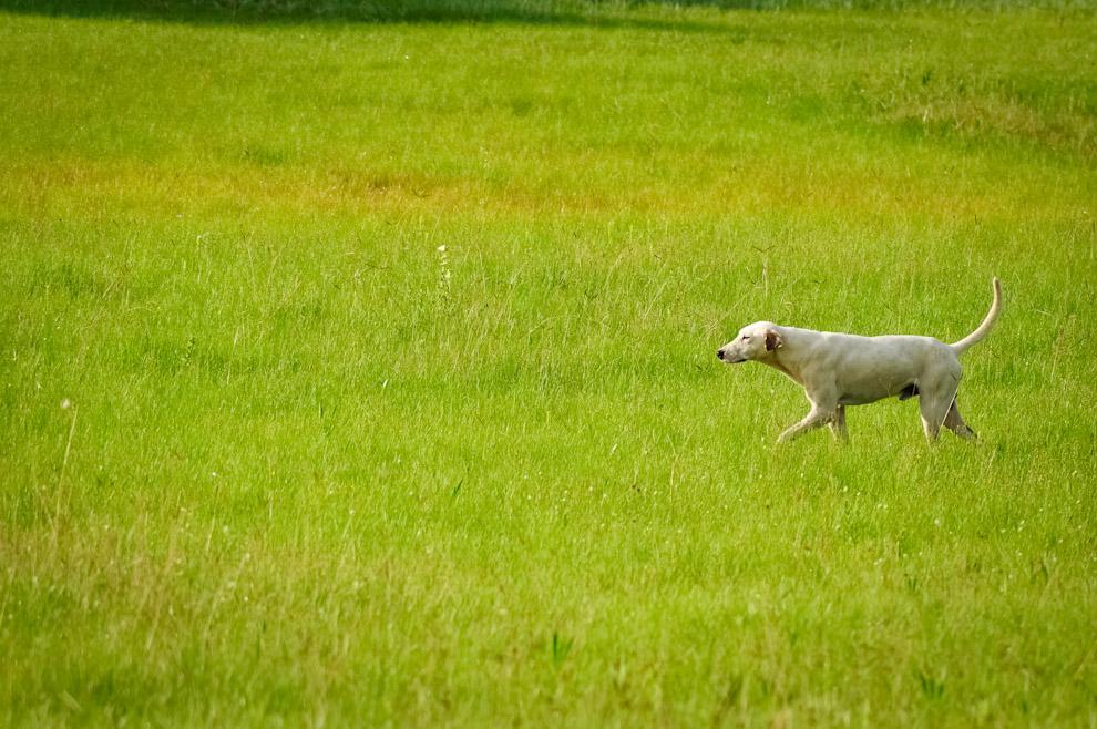 Un perro se pasea por el pastizal de la quinta Mandu'arã de la Flia. Salomón, campos verdes y naturaleza en todo su esplendor fueron escenario de esta ecoaventura. (Elton Núñez)