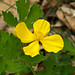 Celandine Poppy - Photo (c) Tom Potterfield, some rights reserved (CC BY-NC-SA)