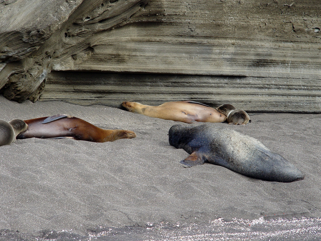 DSC00842 Galápagos sea lions nursing