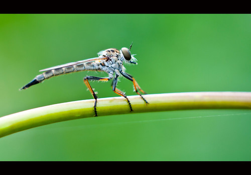 Son of a robber fly.