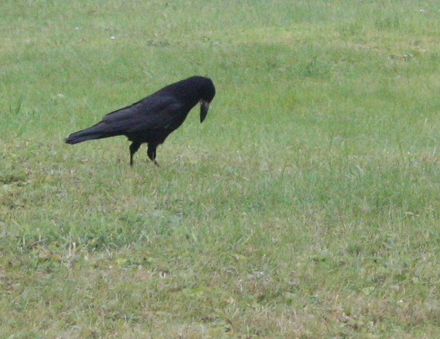 Crows /Cuervos