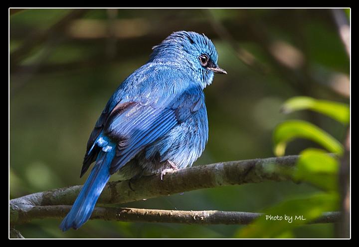 Mystery Bird Asian Verditer Flycatcher Eumyias