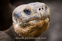 Old Galapagos tortoise