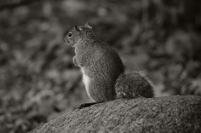 Museum Gardens Squirrels 34 bw