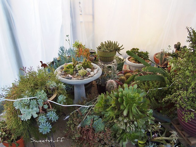 Succulents in gazebo greenhouse