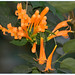 Orange Trumpet - Photo (c) Manuel Martín Vicente, some rights reserved (CC BY-NC-ND)