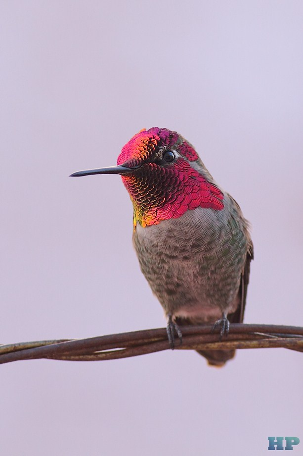 Anna's Hummingbird 122012-7