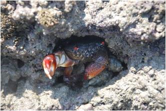 喜歡躲藏於藻礁孔隙的史氏酋婦蟹。(張睿昇攝)