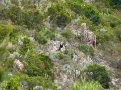 Canyon du Niffru : approche du mouflon au-dessus des vasques du Niffru