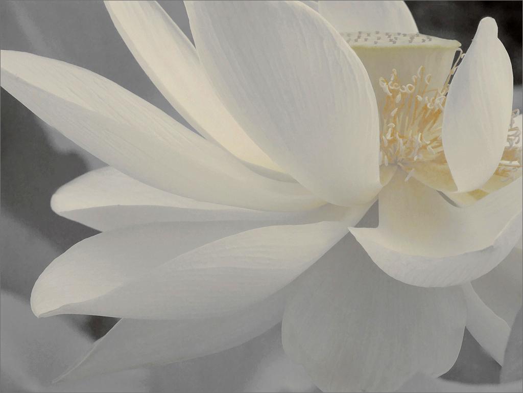 On white white lotus flower petals dsir2407 1000 by bahman farzad white lotus flower petals dsir2407 1000 by bahman farzad izmirmasajfo