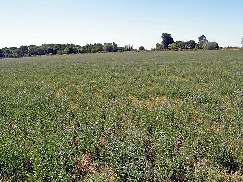 campo con alfalfa