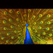 Dance of peacock by -clicking-