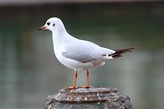 cinclidae(0.0), european herring gull(0.0), wildlife(0.0), animal(1.0), fauna(1.0), close-up(1.0), great black-backed gull(1.0), beak(1.0), bird(1.0), seabird(1.0),
