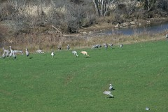 Sandhill and Whooping Cranes at Hiwassee Refuge