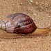 Small photo of Giant Snail (Achatina sp.)