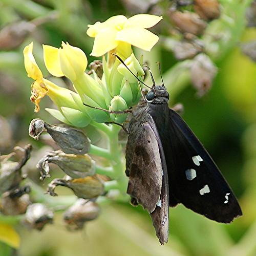 Dark winged Hammock Skipper has prominent white spots by jungle mama