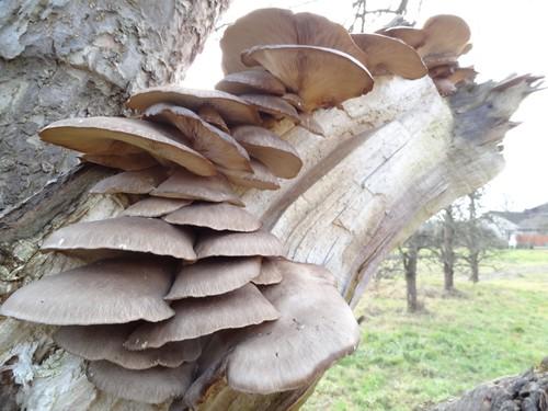 Austernseitlinge am Apfelbaum