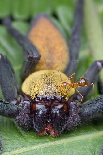 Malaysian Black and Gold Huntsman and a yellow crazy ant..IMG_8834 copy