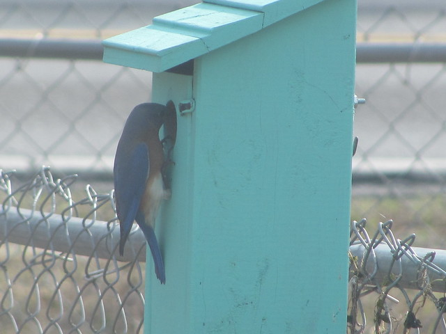 Close up of male bluebird looking in