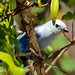 Blue-grey Tanagers by vieirr2