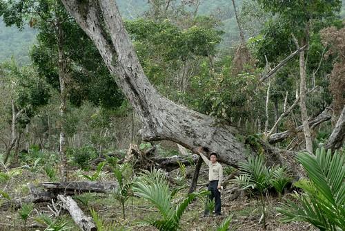 直徑約1公尺,超過100歲的灰背櫟 與遍地檳榔苗。(圖片來源:地球公民基金會)