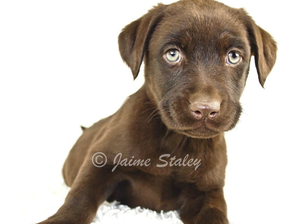 Chocolate Brown Lab Puppies