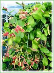 Potted Euphorbia bracteata (Little Bird Flower, Tall Slipper Flower, 'Xiao Niao Hua') shrub, at a shop's entrance