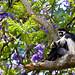 Guereza Colobus Monkeys (Dani Free)