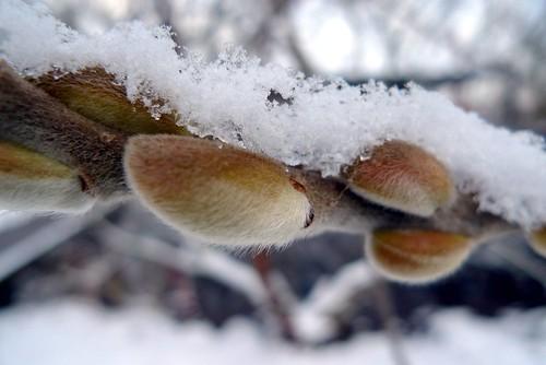 Snowy downy buds