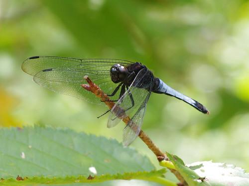殺蟲劑危及蜻蜓等水生環境的生物多樣性,圖為鼎脈蜻蜓。李鍾旻攝。