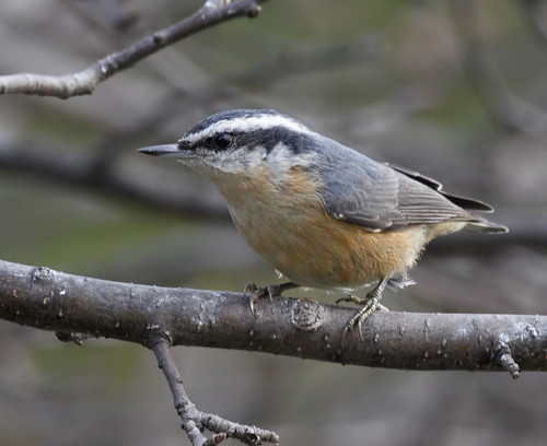wild tree bird nature animal closeup fauna bill michigan wildlife beak feather perch nuthatch ornithology birdwatching sittacanadensis avian redbreastednuthatch