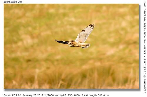 Short Eared Owl Lancashire