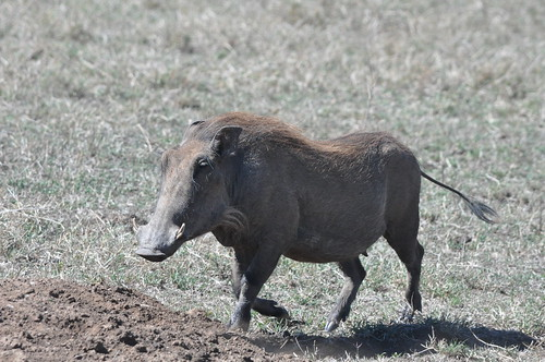 Warthog skedaddling towards its underground den