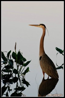 Kanadareiher / Great Blue Heron