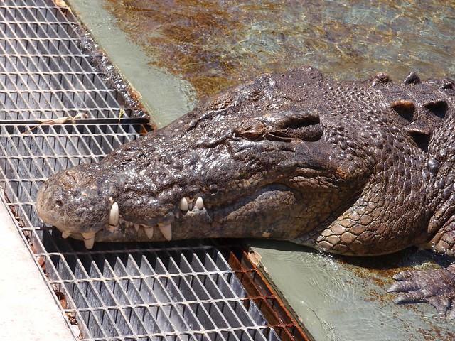 Feeding Croc - Crocosaurus Cove Darwin