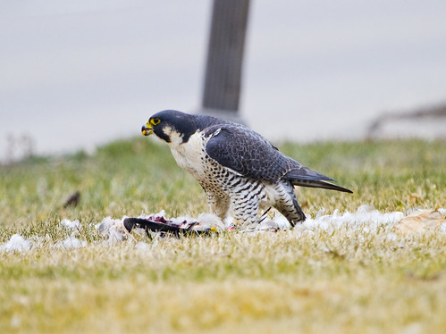 Peregrine Falcon 3 by Ricky L. Jones Photography