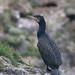 Dílaskarfur (Phalacrocorax carbo) - Great Cormorant