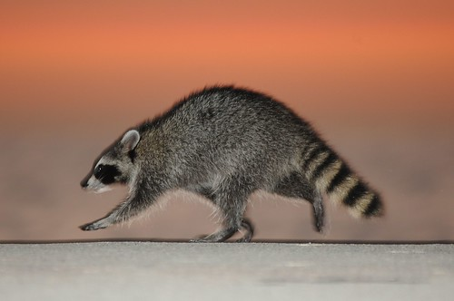 2011 Sunrise Raccoon