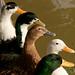 Ducks in a Row - Shiraz, Iran