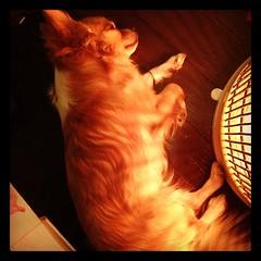 地震に驚いてお疲れの様子 #いぬ #chihuahua